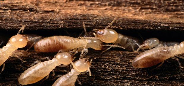 10 1 مكافحة الحشرات بالرياض شركة كلين لانج 0508020877