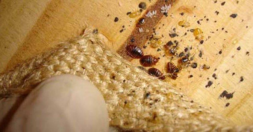 bed bugs boxspring1 1 845x441 مكافحة البق بالرياض شركة كلين لانج 0508020877